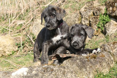 Two puppies of Irish Wolfhound in the garden Royalty Free Stock Photography
