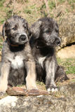 Two puppies of Irish Wolfhound in the garden Royalty Free Stock Photo