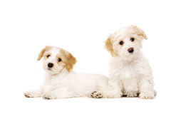 Two puppies isolated on a white background Royalty Free Stock Photos
