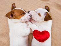 Two puppies Jack Russell Terrier dogs on the sand with red heart. royalty free stock images