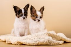 Two puppies on a knitted sweater