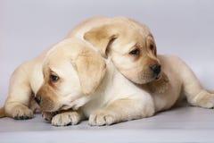 Two puppies labrador retriever. Stock Image