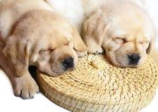 Free Two Puppies Labrador Retriever. Royalty Free Stock Photos - 11775808