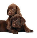 Two puppies Labrador retriever. Two chocolate puppies. Two dogs on a white background Stock Photography