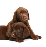 Two puppies Labrador retriever on a white backgrou. Two chocolate puppies. Two dogs on a white background Royalty Free Stock Images