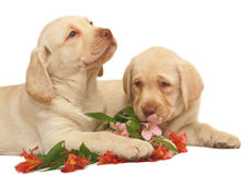 Two puppies Labradors retriever. Two puppies of breed Labrador with lilies on a white background Royalty Free Stock Photography