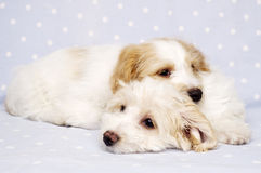 Two puppies laid on a blue background Stock Images