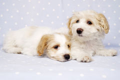 Two puppies laid on a blue background Royalty Free Stock Images