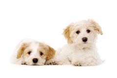 Two puppies laid isolated on a white background Stock Photography