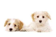 Two puppies laid isolated on a white background Royalty Free Stock Images