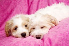 Two puppies laid on a pink background Stock Images