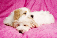 Two puppies laid sleeping on a pink background Royalty Free Stock Photo