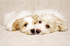 Two puppies laid on a textured beige background Stock Photos