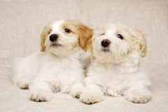Two puppies laid on a textured beige background Stock Images