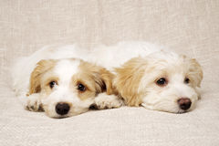 Two puppies laid on a textured beige background Royalty Free Stock Photo