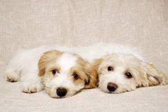 Two puppies laid on a textured beige background Stock Photography