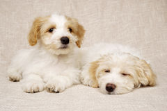 Two puppies laid on a textured beige background Royalty Free Stock Photography