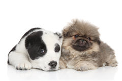 Two puppies, lie on a white background Stock Photography