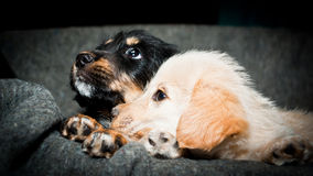 Two puppies look. Adopt and love me please! I want to play with you, all the time, across the life Royalty Free Stock Image