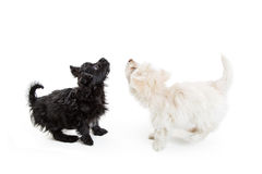 Two Puppies Looking Back and Up. Black and white Maltese crossbreed puppy dogs looking up into blank white copy space Royalty Free Stock Photo