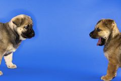 Two puppies looking at each other. Stock Photos
