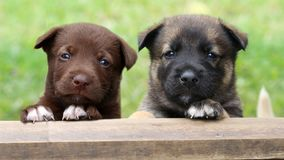 Two puppies looking over pen. Two cute mixed breed puppies looking over the entrance to their pen stock photo