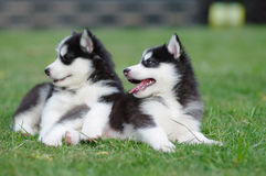 Two puppies looking something interesting. Two young dogs lie on the grassplot Royalty Free Stock Photos