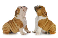 Two puppies looking up Stock Photos