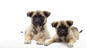 Two puppies. Looking on a white veil Stock Photo