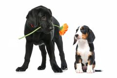 Two puppies in love. Romantic dog couple in  love. Isolated on white Stock Photo
