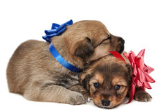 Two puppies in love Stock Photos