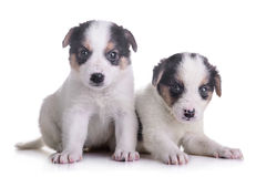 Two puppies mestizo Royalty Free Stock Images