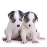 Two puppies mestizo Stock Photos