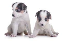 Two puppies mestizo Royalty Free Stock Photography