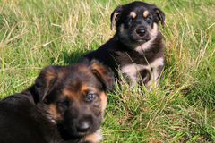 Two puppies, mongrel Royalty Free Stock Images