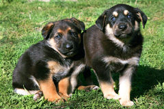 Two puppies, mongrel Royalty Free Stock Photography