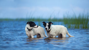 Two puppies of mongrel standing in water on the sea. Royalty Free Stock Photo