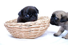 Two puppies Mopsa play in a wattled basket on a white background Stock Image