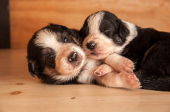 Two puppies nestling Stock Photos