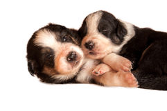Two puppies nestling on a white background Royalty Free Stock Image