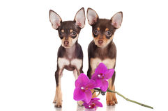 Two puppies with an orchid flower Royalty Free Stock Photo