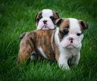 Two puppies outside Stock Photography