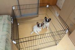 Two puppies papillon Stock Photos