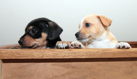 Two Puppies Peeking Stock Photography