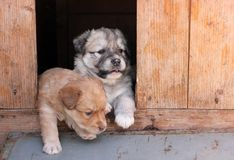 Two puppies peeking out of a doghouse stock photography