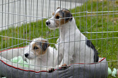 Two Puppies in a Pen royalty free stock photography