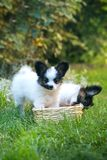 Two puppies are playing with a basket Royalty Free Stock Photo