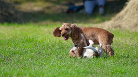 Two puppies playing. Puppies playing on the grass stock footage