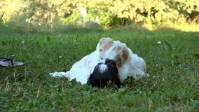 Two puppies playing on grass. HD stock video footage