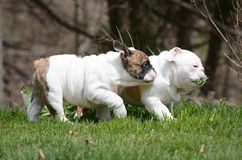Two puppies playing outside Stock Photography